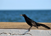 Belize City, Belize: black bird near Fort George lighthouse - photo by M.Torres