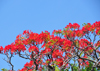Belize City, Belize: Flamboyant tree at St. John's Cathedral - Royal Poinciana - Delonix regia - red Gulmohar flowers - photo by M.Torres
