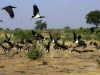 near Massaguet - NE Chad: birds (photos by Silvia Montevecchi)